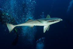 Remora Suckerfish. A remora in search of a host shark or other large pelagic royalty free stock photos