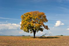 Remote autumn tree. Lonely tree in autum sunshine Royalty Free Stock Images