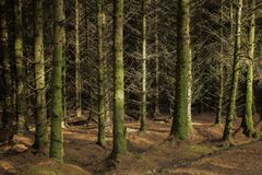 A remote pine forest in Scotland royalty free stock images