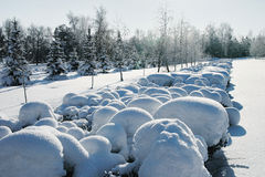 Remote snow-covered bushes in winter park.  Stock Images