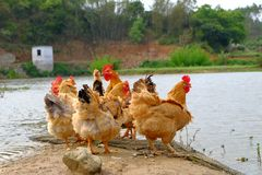 The hens at the riverside. In remote villages, chickens are stocked which are put in a wild field place to breed, and hens, roosters or chicks are free to find Stock Image