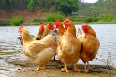 The hens at the riverside. In remote villages, chickens are stocked which are put in a wild field place to breed, and hens, roosters or chicks are free to find Stock Photo