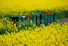 Removable hives in a rape field Stock Image