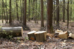 Removal of trunks and trees in a forest and deforestation Stock Images