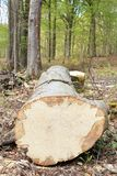 Removal of trunks and trees in a forest. View of a long trunk. Royalty Free Stock Image