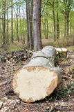Removal of trunks and trees in a forest. View of a long trunk. Stock Image