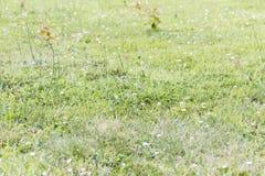 Remove ervas daninhas de parasita das pragas na grama do gramado Imagens de Stock Royalty Free