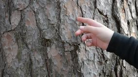 We remove the pine bark from the trunk of a tree. Children`s fingers chop the brown bark from the tree stalk stock footage