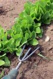 Removendo ervas daninhas da alface Imagens de Stock