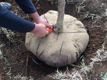 New Tree Planting: Cutting Cords from Burlap around Root Ball. It is very important to remove any strings or other binding material used to keep burlap fabric Stock Photography