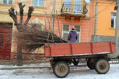 Removing cut twigs of pruned trees at wintertime. Chernivtsi, Ukraine - December 21, 2017: Removing cut twigs of pruned trees at wintertime. Bare stems make the Stock Photos