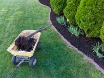 Removing a dead arborvitae tree from a flowerbed. With a neat row of healthy cypress trees and fresh mulch covering the soil stock image