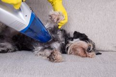Removing dog`s hair from furniture. Removing dog`s hair concept. Woman vacuuming fur from miniature schnauzer on sofa royalty free stock photos
