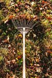 Removing fallen leaves on backyard with rake Royalty Free Stock Images
