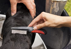 Removing fleas with a comb from back of dog. A young woman and senior male remove fleas by means of a comb from a dogs back Royalty Free Stock Photo