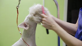 Removing the old wool by brush from face stock footage