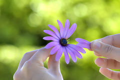 Removing petals. Human hand removing some petals from a beautiful flower Stock Photos