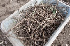 Removing rampant roots called Cayratia japonica. A pile of notorious rampant roots called Cayratia japonica after removing them from farm field Stock Photos