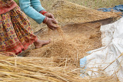 Removing rice from the rice plant pokhara, Nepal Royalty Free Stock Photography