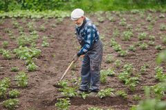 Removing weeds from soil of potatoes, Senior elderly man wielding hoe in vegetable garden royalty free stock images