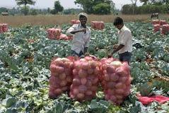 Remplissage cultivé de Légume-chou juste dans les sacs Photo libre de droits