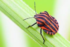Remsan bugs (den Graphosoma lineatumen) royaltyfri bild