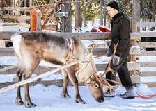Renägaren och hans ren i vinter brukar Lapland Royaltyfria Foton