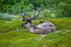 Ren auf dem Gras Lizenzfreie Stockfotografie