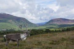 Ren av Skotska högländerna Arkivbilder