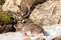 Ren av Svalbard royaltyfria bilder