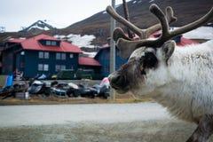 Ren bei Svalbard Stockfotos