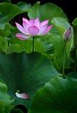 ren blommalotusblomma Arkivfoto