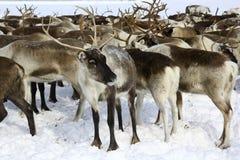 Ren in der Arktis Lizenzfreie Stockbilder