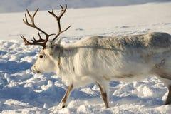 Ren in der natürlichen Umwelt, Tromso-Region, Nord-Norwegen Lizenzfreie Stockfotografie