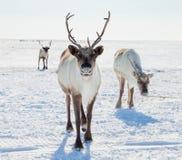 Ren in der Wintertundra Lizenzfreies Stockfoto
