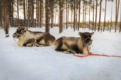 Ren dragen släde i vintern Arkivfoto