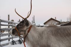 Ren dragen släde i vintern Arkivbilder