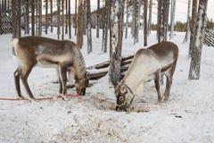 Ren dragen släde i vintern Fotografering för Bildbyråer