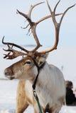 Ren in Finnland Stockfotografie