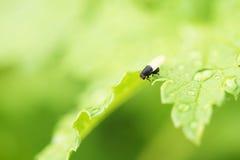 Ren fluga Fotografering för Bildbyråer