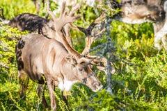 Ren i Lapland Finland royaltyfri foto