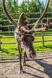 Ren i Lapland Finland Royaltyfri Fotografi