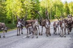 Ren i Lapland Finland Arkivbild