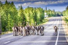Ren i Lapland Finland Arkivfoton