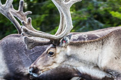Ren i Lapland Finland royaltyfri bild