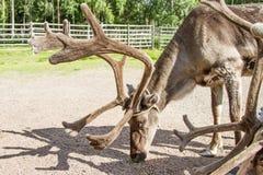 Ren i Lapland Finland fotografering för bildbyråer