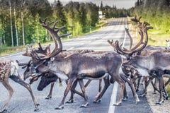 Ren i Lapland Finland royaltyfria foton