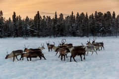 Ren i nordliga Finland Arkivbilder