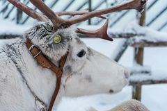 Ren i Rovaniemi, Finland royaltyfri fotografi