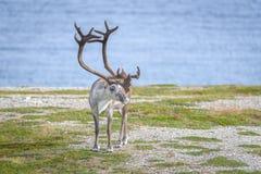 Ren i sommar i arktiska Norge Arkivfoton